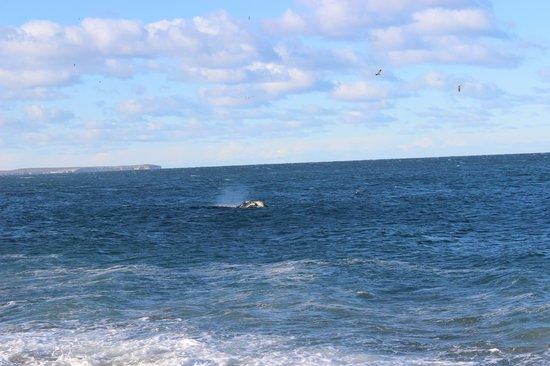 Playa El Doradillo: Se puede apreciar lo cerca que estan las ballenas de la costa
