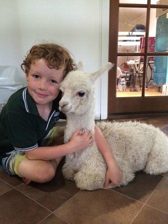 Starline Alpacas Farmstay Resort: Cuddles with Lucy!