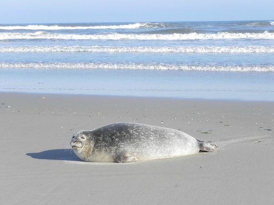 Harbor Seal On Beach Picture Of Cape Lookout National