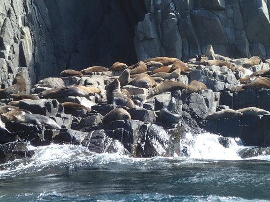 Bruny Island Cruises : Colony of fur seals (males only territory)