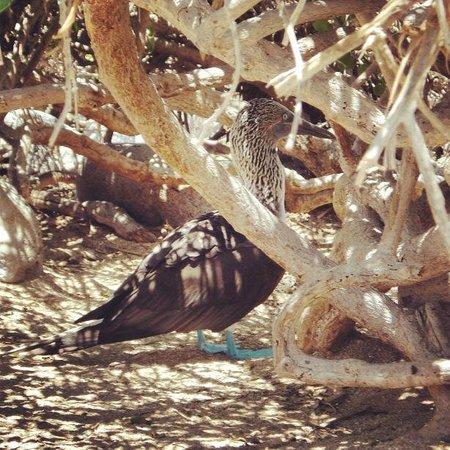 Isla Lobos: Atobá-pata-azul