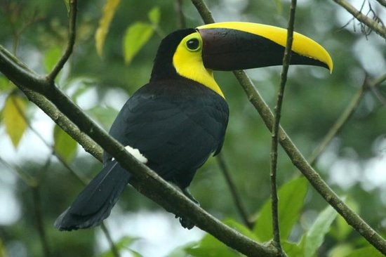 Hotel La Palapa Eco Lodge Resort: One of the many Toucans in La Palapa Gardens.