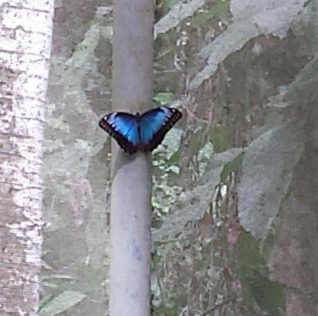 Hotel Mariposario Montezuma Gardens: Blue Morpho in garden