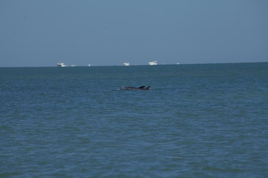 Holiday Inn Sarasota - Lido Beach: Dolphins playing in the ocean in the morning just in front of the hotel