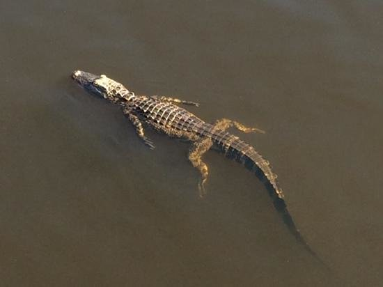 Hilton Grand Vacations at SeaWorld: A gator in the pond by the hotel