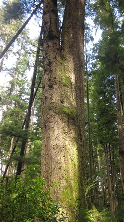 Alert Bay Cabins: Old growth tree on the trails near Oceanview