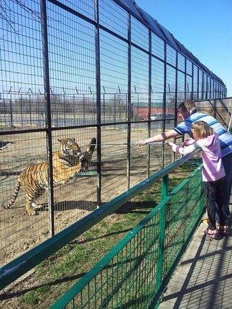 Wild Animal Safari : feed the tigers!