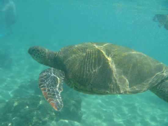 Sheraton Maui Resort & Spa : Black Rock resident turtle