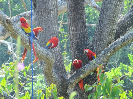 Cristal Azul : A visit to the Scarlet Macaw Project, Punta Islita