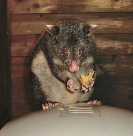 The Mouses House Rainforest Retreat : The Mouses House possum.