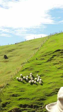 Akaroa Farm Tours: Sheep herding!!