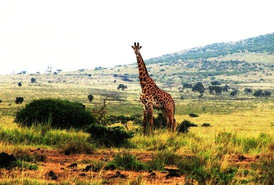Maasai Simba Camp: Жираф
