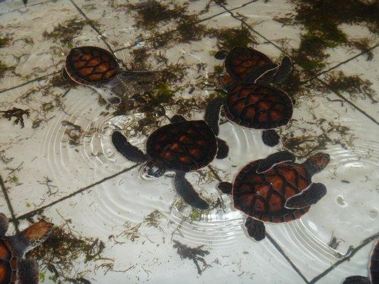 Turtle Island: baby turtles kept in tiled enclosures