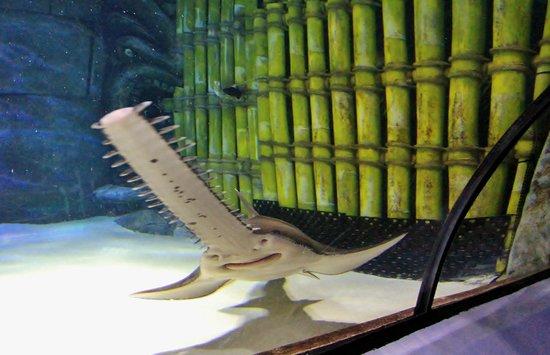 Sea Life Sunshine Coast: Sword Fish