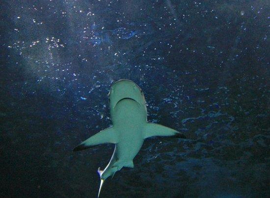 Sea Life Sunshine Coast: Shark in the tunnel.