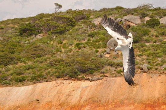 Esperance Island Cruises: Sea Eagle diving for food