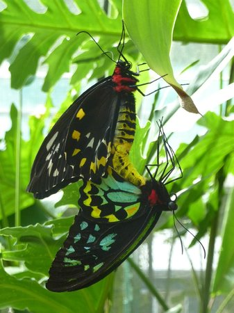 Kookas Bed & Breakfast: Cairns Birdwing Butterflies painting