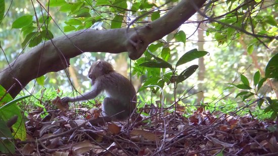 Bukit Timah Nature Reserve: young monkey curiously picking up a leaf