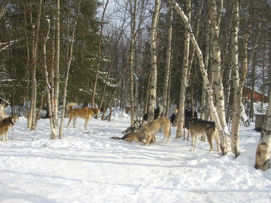 White Trail Adventures: doggies home at Musher's Lodge