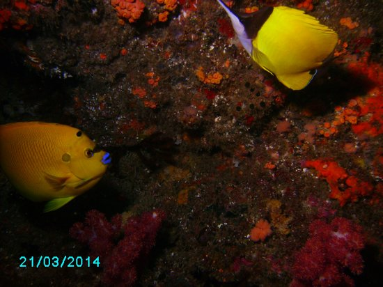 Aliwal Dive Centre : Some kind of yellow angel with  Long-nose Butterfly