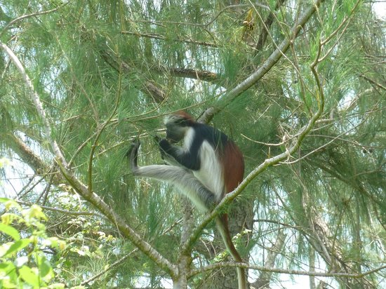 Unguja Lodge: the red colobus monkey