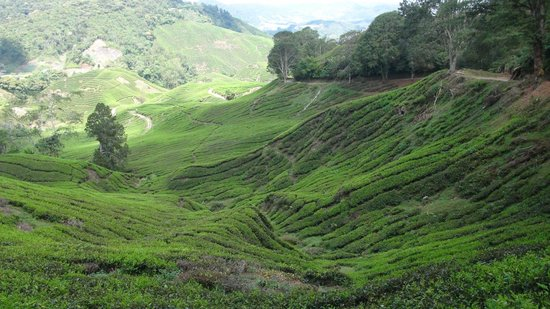 Cameron Highlands Jungle Trail No. 1: Tea plantage on the way down