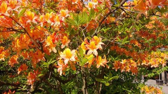 Arboretum Trompenburg: Azalea's & Rhododendrons