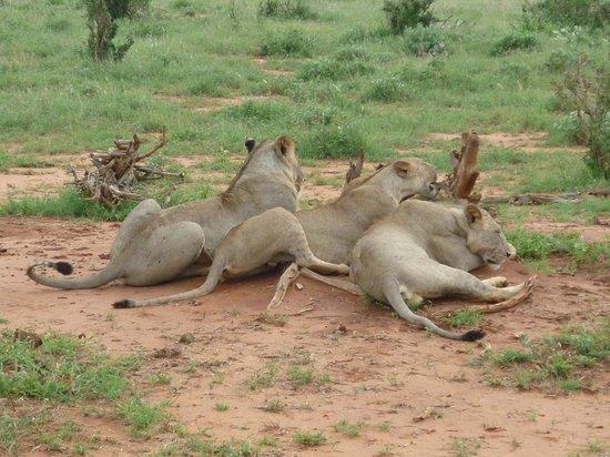 Juma Safari Kenya: leoni in relax