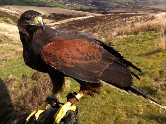 North Devon Hawk Walks: Lady MacBeth