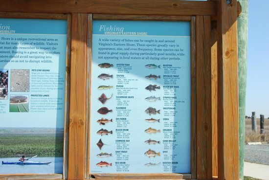 Chincoteague National Wildlife Refuge: Fish caught there