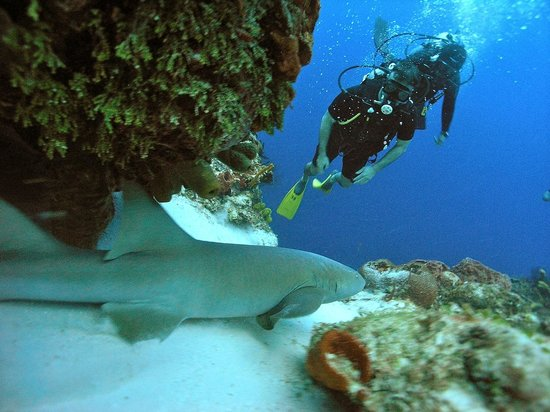 Presidente Inter-Continental Cozumel Resort & Spa : Photo of my husband diving with a nurse shark