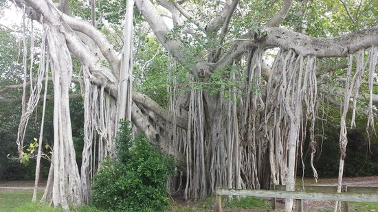 Hugh Taylor Birch State Park : Huge Banyan Tree
