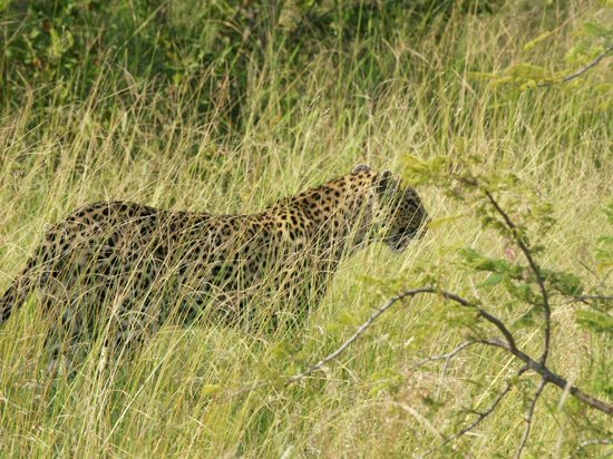 Gomo Gomo Game Lodge: Leopard in the long grass