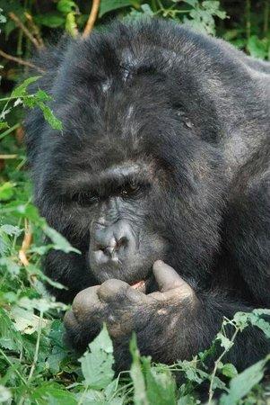 Bwindi Impenetrable National Park : Den ældste han i Bitukura gruppen i Bwindi.