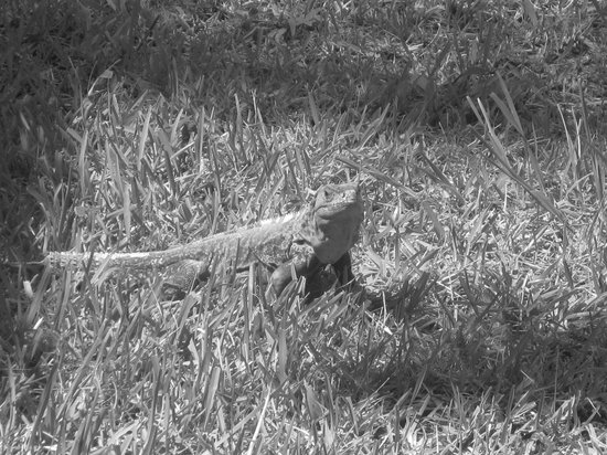 La Mansion Inn : The resident iguana sunning in our yard