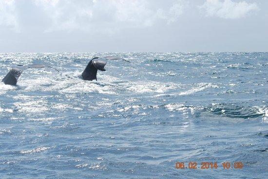 Grand Bahia Principe Cayacoa : Great area for HumpBack Whales