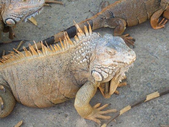 Iguana Research & Breeding Station: Big Guy