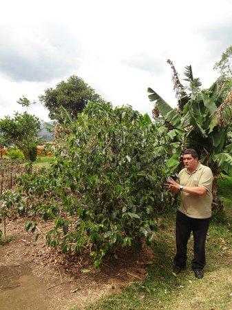 Doka Estate Coffee Tour: Coffee plant