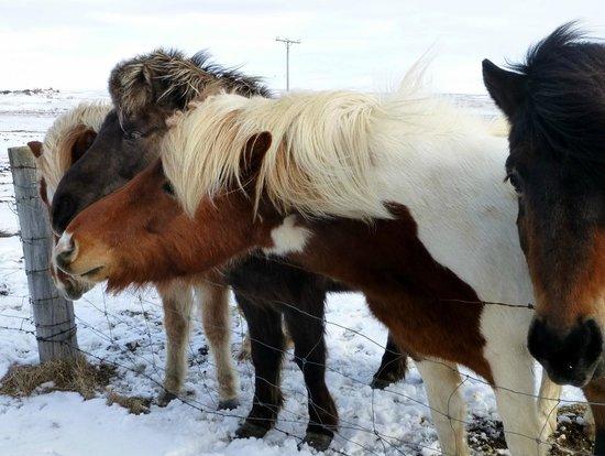 Iceland Horizon : Icelandic horses