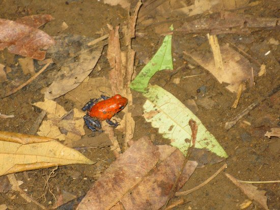 Rio Celeste : Poisonous red frog