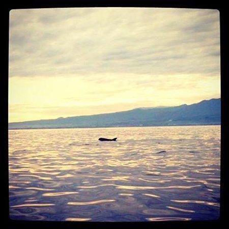 Lovina Beach: Risso Dolphin