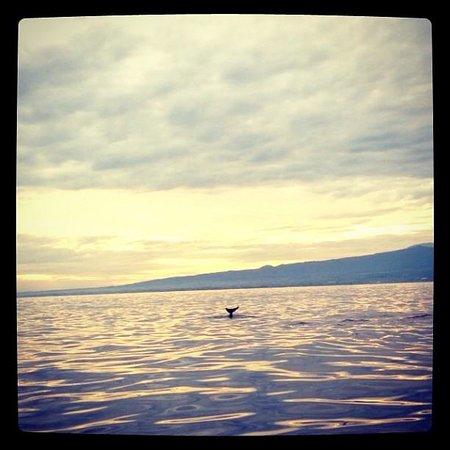 Lovina Beach : Bottlenose Dolphin