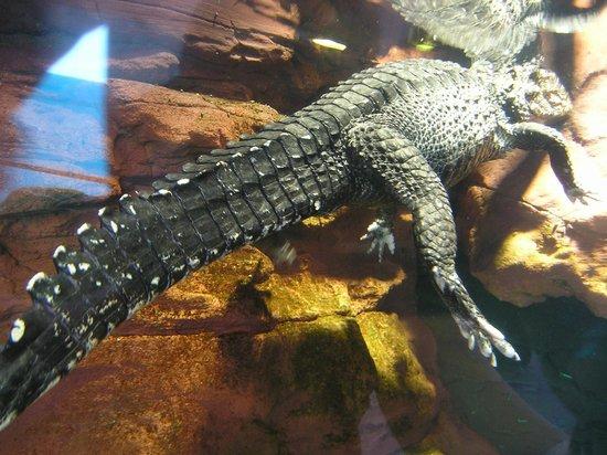 Acquario di Genova : крокодилыч