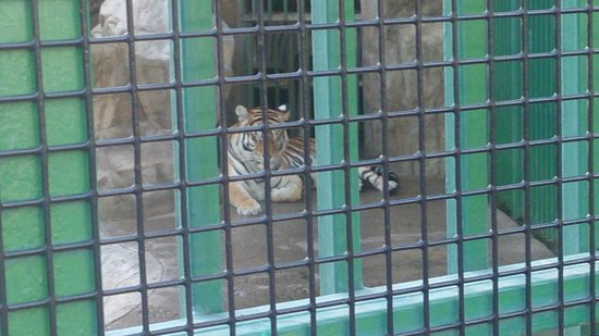 Paradise Village Beach Resort & Spa : One of the tigers