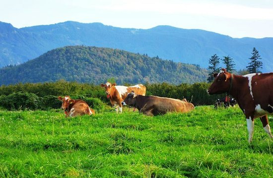 Agassiz, Kanada: Farm House cows