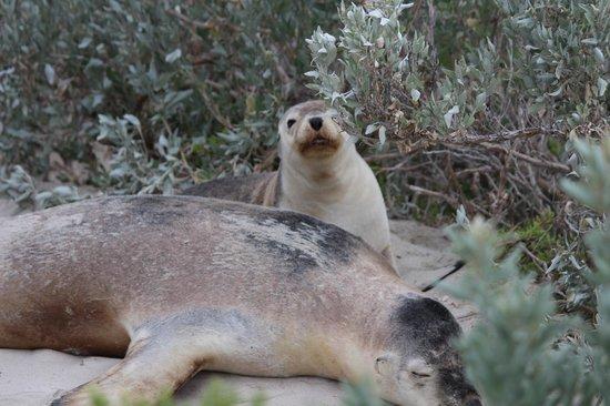 Southern Ocean Lodge: Seal Bay Excursion