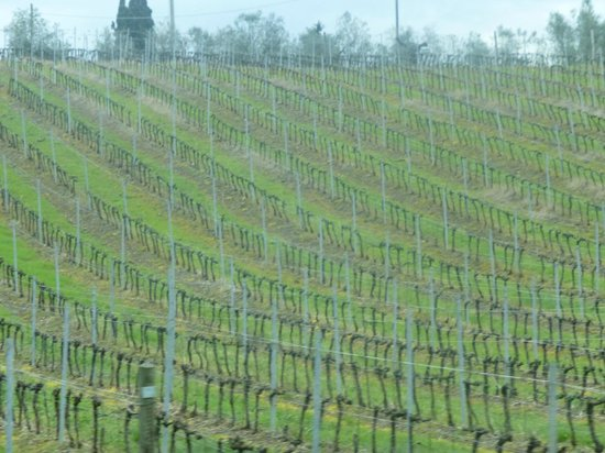 Tuscan Wine Tours by Grape Tours: A view of the grape fields