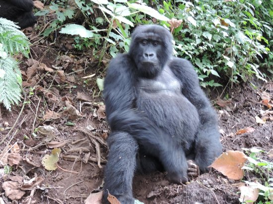 Mountain Gorilla View Lodge: This is why you are staying here, GORILLA'S