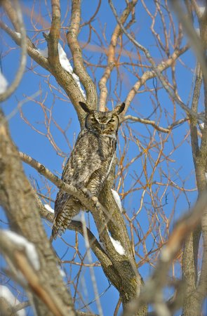 Ninepipes Lodge: Resident Great Horned Owl, nesting on the near the pond