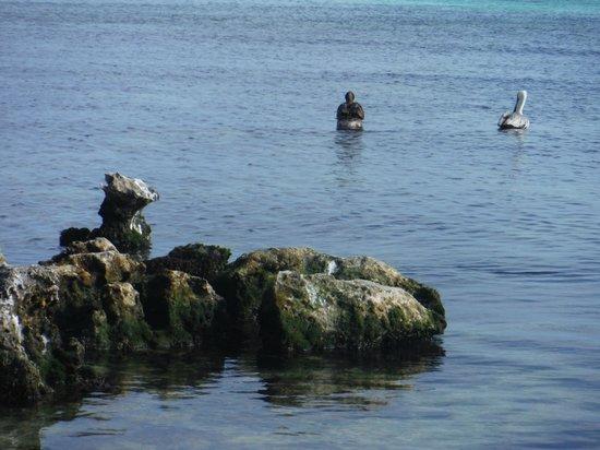 PavoReal Beach Resort Tulum: pelicans
